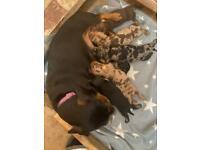 Kc registered PRA clear miniature dachshund pups!