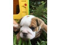 British Bulldog Pups KC Registered
