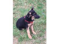 Adorable German shepherd puppy