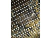 2 female degus and cage