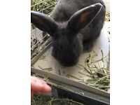 Male rabbit for free (into good hands)