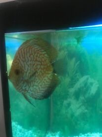 Discus male 5 inch