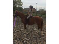 Sweet Welsh SecB Lead Rein Pony