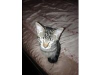 beautiful female kitten for sale