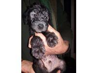 Lurcher Puppies ready 13th December