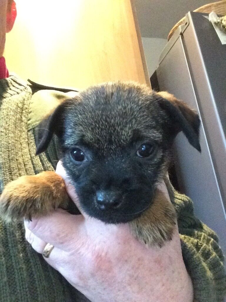KC Reg border terrier pups for sale | in Kilmarnock, East Ayrshire ... | Border Terrier Puppies For Sale Uk London