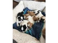 Lhasa puppies for sale