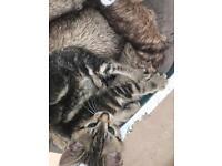 Bengal x tabby kittens