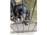 Two beautiful cocker spaniel pups both girls looking for there furever homes