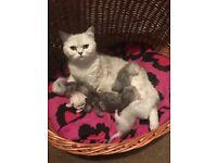British Shorthair Tipped Kittens