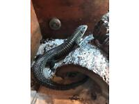2 Sudan Plated Lizards Male and Female