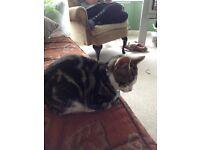 Free Bengal x cat
