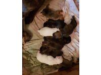 Bulldog x cana corso puppies for sale