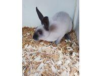 Smoke pearl mini Rex Rabbits
