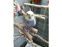 Lovely female cockatiel for sale . NO CAGE