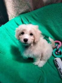 Last cavachon girl puppy
