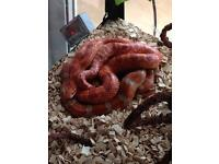 Corn snakes and tank