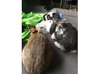 Bonded pair of rabbits and set up