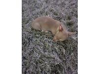 Kc reg lilac female chihuahua puppy