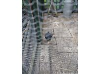 Poults for sale, Plymouth barred rock