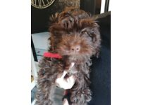 Chocolate 11 week old female cockapoo puppy fully vaccinated and microchipped needs a forever home