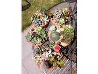 Cacti succulent arrangement live plant plants