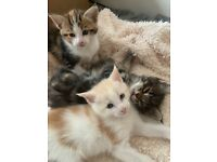 Beautiful 3/4 Maine coon kittens 9 weeks old