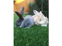 Two Giant female continental rabbits for sale