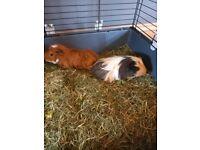 2 Guinea Pigs plus Cage & Accessories
