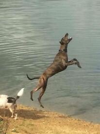 Dog - Bullwhippet