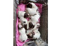 English springer spaniels puppies