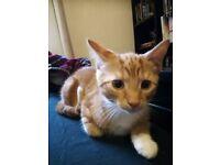Ginger kitten, male. 4 months old.