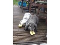 French lop neutered male looking for good free range home