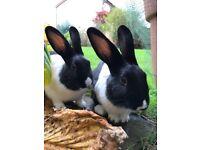 Two baby boy bunnies