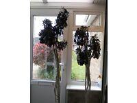 Aeonium Zwartkopf, succulent plant