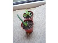 2 small Succulent plants on plastic pots £1 for two