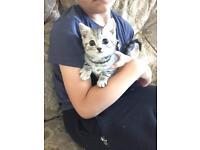 Silver spotty pedigree kitten