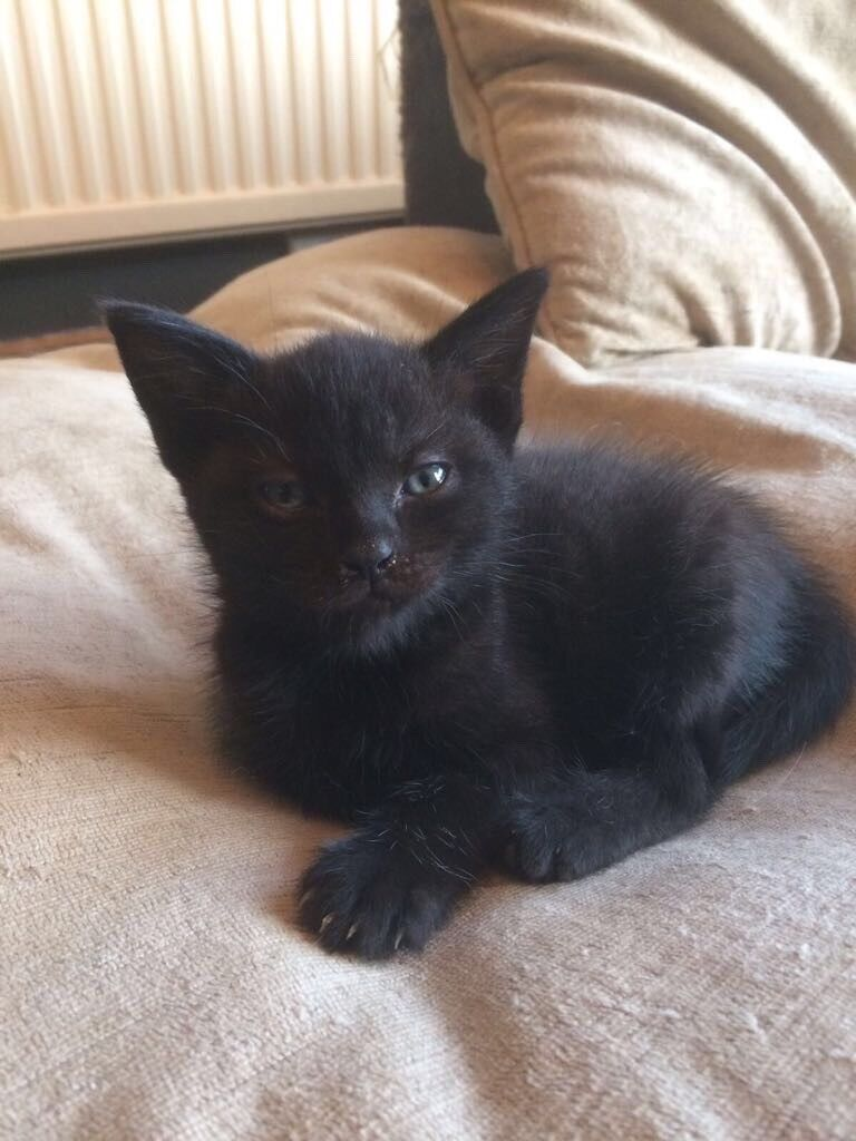 Cats For Sale Chesterfield