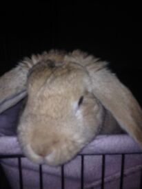 Free to good home pet rabbit