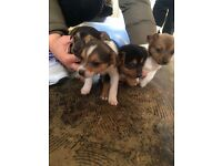 Jack Russell X pups for sale