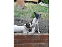 French bulldog x Jack Russell pups