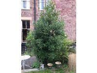Large bay tree/shrub