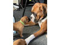 Boxer X Bulldogge puppies