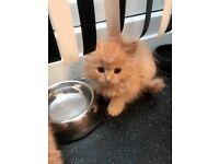 Egyptian Mau/Siamese kittens Kittens