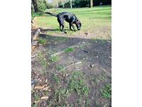 Labrador for rehoming