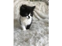Beautiful fluffy kittens Last two