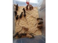 Female mice for sale