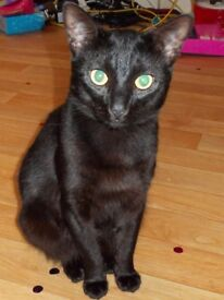 pure black 3 year old male cat