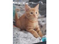 female ginger kitten 9 weeks old