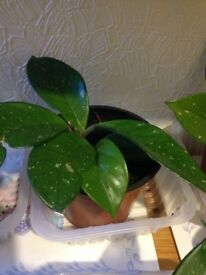 Hoya indoor plants £3 each only.